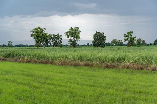 Campo de arroz de caña de azúcar