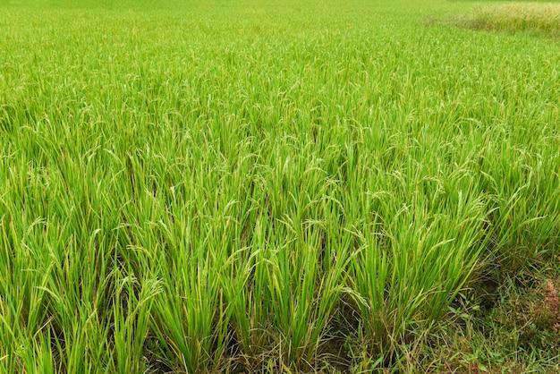 Campo de arroz con cáscara verde agricultura /