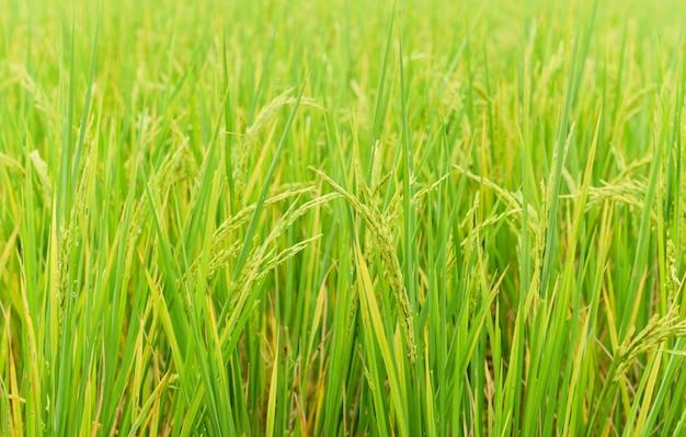 Campo de arroz con cáscara verde