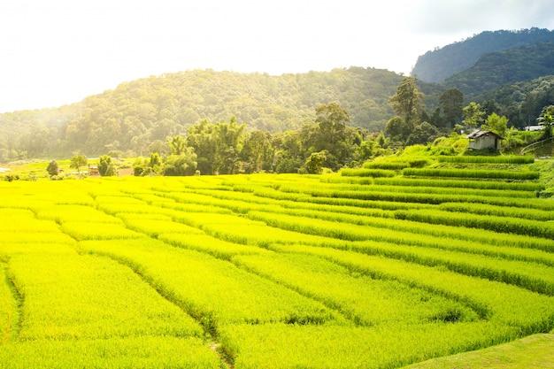 Campo de arroz en chiang mai, tailandia.