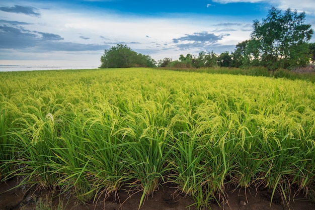 Campo de arroz con cielo azul brillante