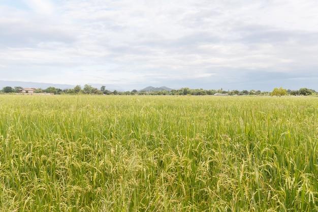 Campo de arroz en día soleado
