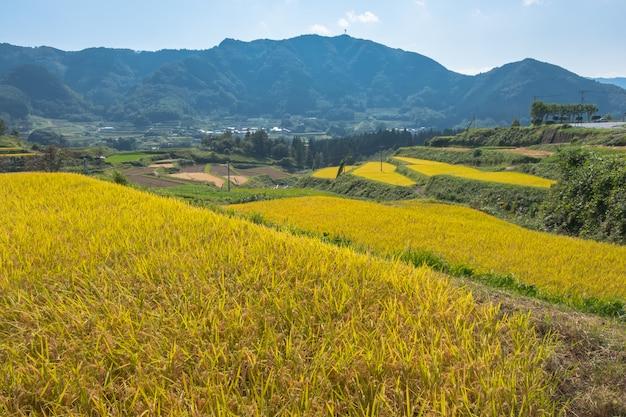 Campo de arroz y fondo de montaña aso
