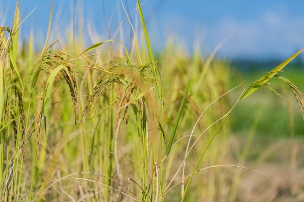 Campo de arroz en la mañana bajo el cielo azul
