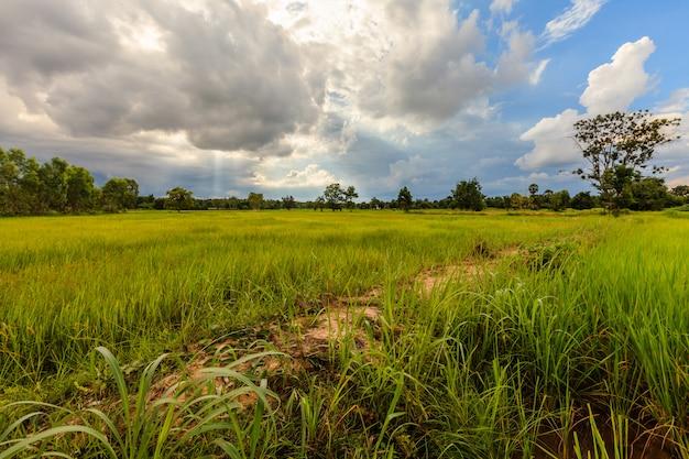 Campo de arroz paddy verde natural