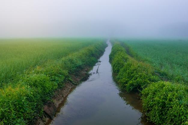 Campo de arroz con río y niebla en la luz de la mañana