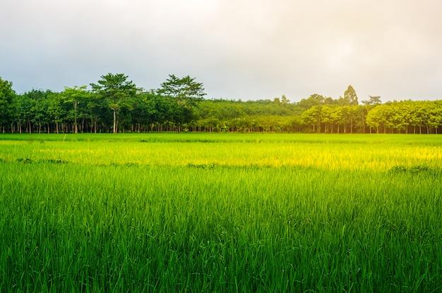 Campo de arroz rural con cielo a la luz del sol.