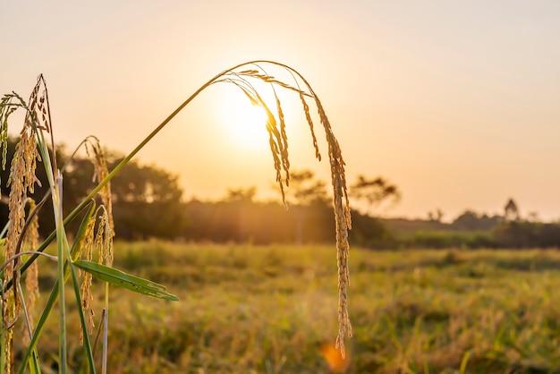 Campo de arroz con la salida del sol o la puesta del sol y el espacio del cielo sobre el sol