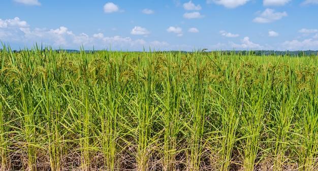 Campo de arroz verde en la mañana bajo el cielo azul