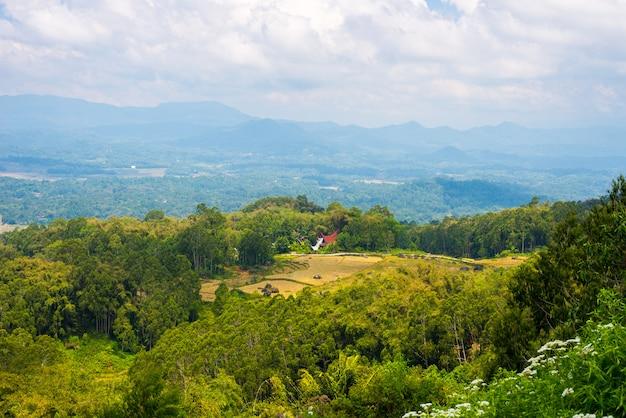Campo de arroz verde