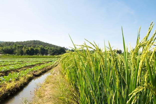 Campo de arroz.