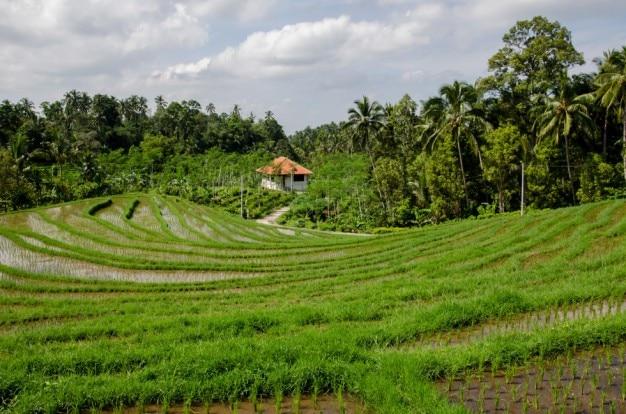 El campo de arroz