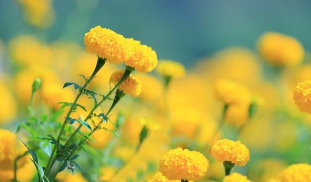 Campo de caléndula amarilla