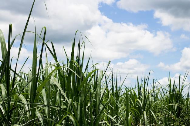 Campo de caña de azúcar con el cielo azul para el fondo