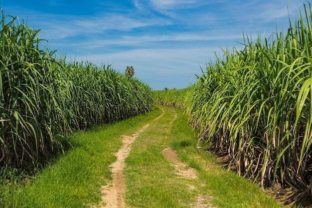 Campo de caña de azúcar en el cielo azul