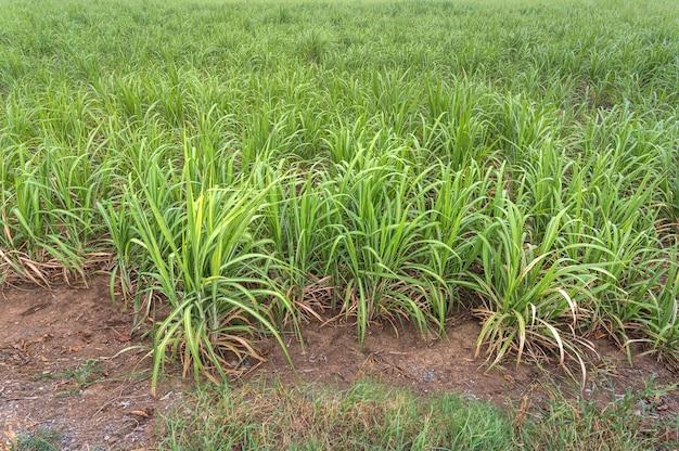 Campo de caña de azúcar después de la lluvia