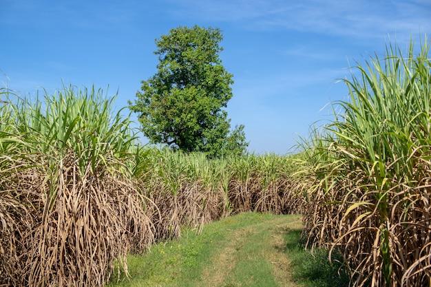 Campo de caña de azúcar con fondo de paisaje de la naturaleza del cielo del atardecer