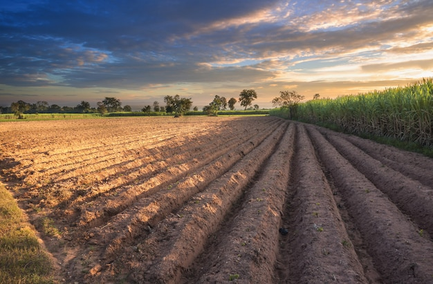 Campo de la caña de azúcar con el fondo del paisaje de la naturaleza del cielo de la puesta del sol.