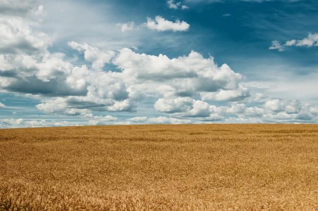 Campo de cebada amarilla