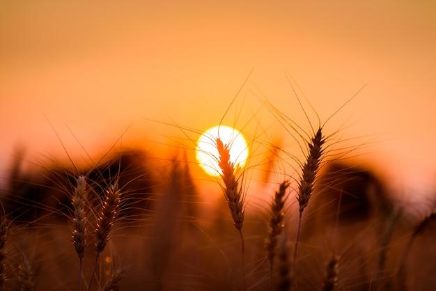 Campo de cebada o trigo de silueta en puesta de sol