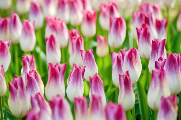 Campo colorido de tulipanes, tulipanes hermosos en el jardín.