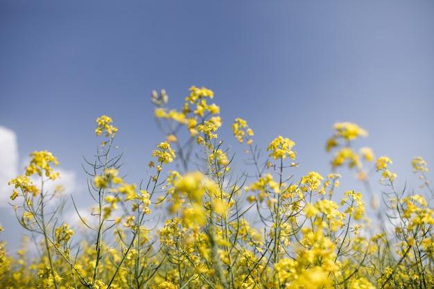 Campo de colza amarilla