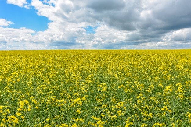 Campo de colza amarillo, campo de colza amarillo