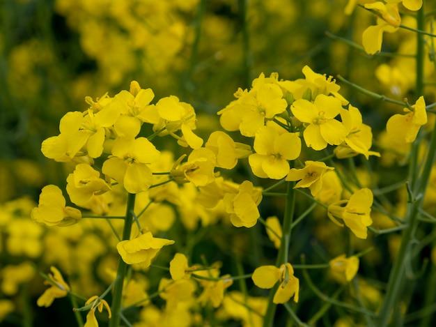 Campo de colza floreciente