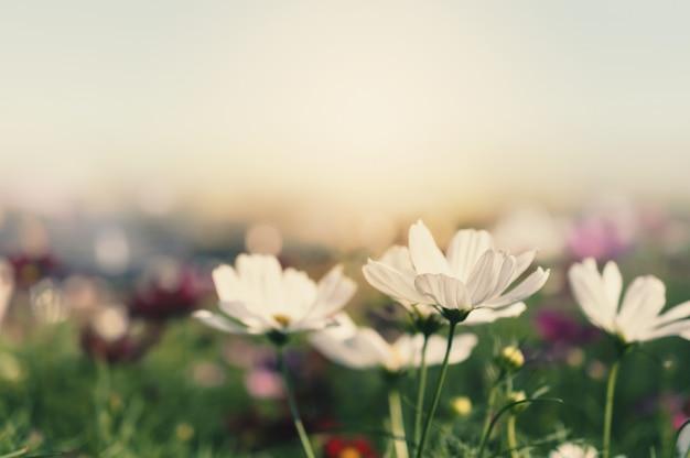 Campo de cosmos flor