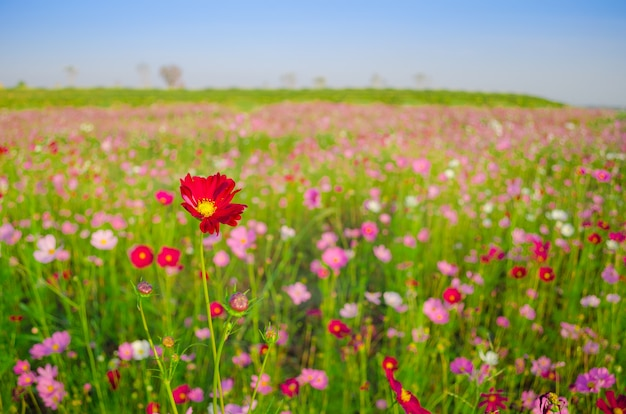 Campo de cosmos flores