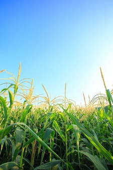 Campo de maíz con cielo azul.