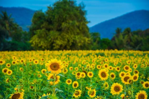 Campo de floración, paisaje de granja de girasol.