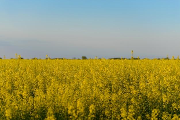 Campo floreciente amarillo