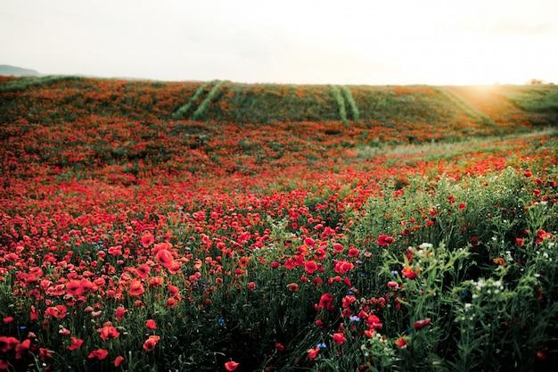 Campo de flores de amapola en puesta de sol