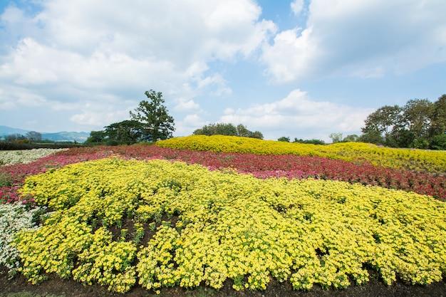 Campo de flores en boon rawd farm chiangrai tailandia