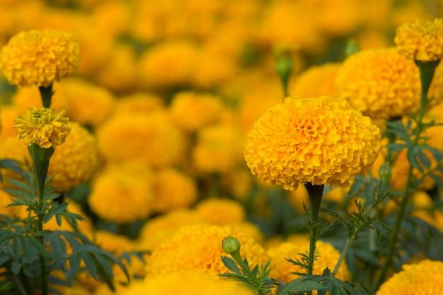 Campo de flores de caléndula naranja, enfoque selectivo