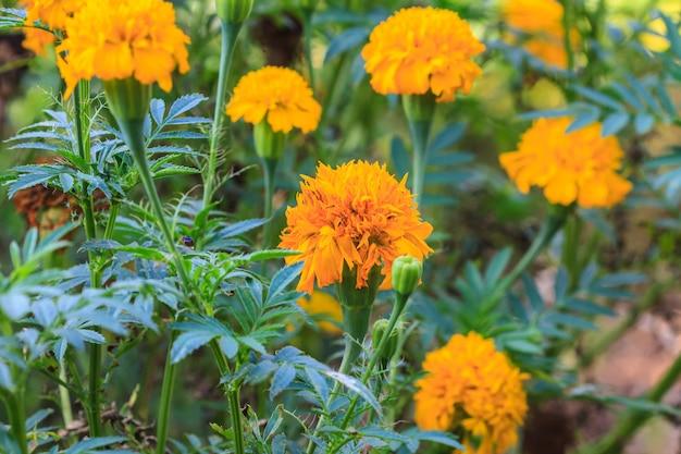 Campo de flores de caléndula