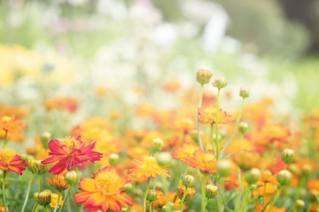 Campo con flores naranjas de caléndula
