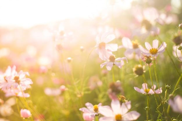 Campo de flores rosadas y blancas de verano en la cálida luz del sol