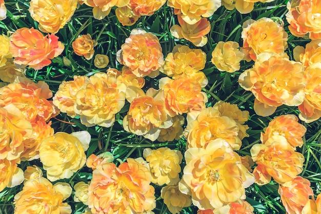 Campo de flores de tulipán