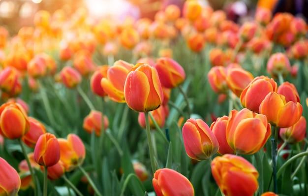 Campo de flores de tulipanes de colores.
