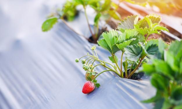 Campo de fresas con hoja verde en el jardín - plantar fresas de árbol que crecen en la agricultura agrícola