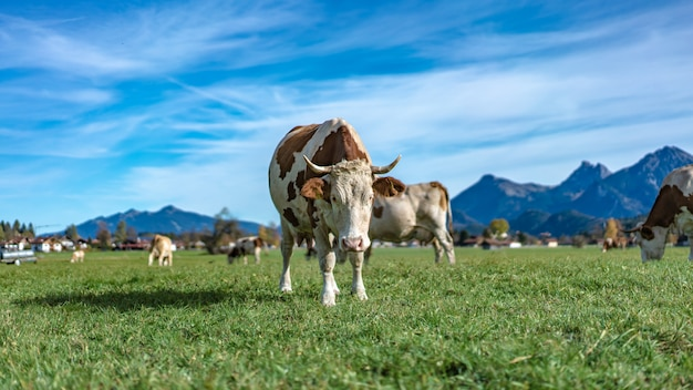 Campo de ganado lechero