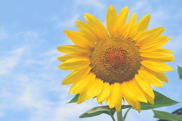Campo de girasol fondo de cielo azul de día soleado para su diseño
