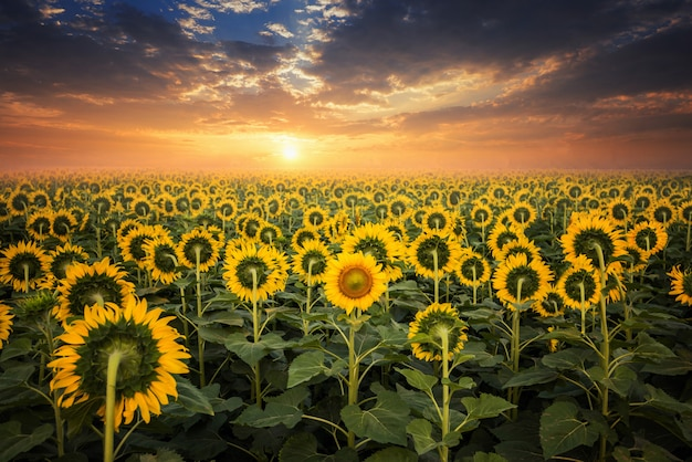 Campo de girasoles florecientes en un fondo de la puesta del sol