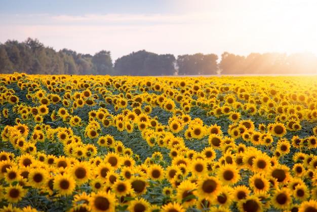 Campo de girasoles florecientes y sol naciente con rayos cálidos