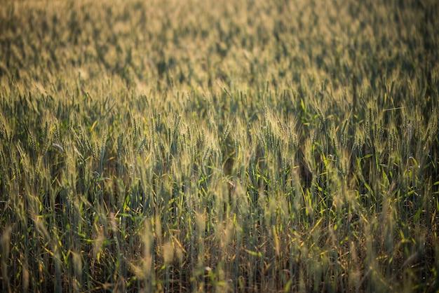 Campo de granja de trigo