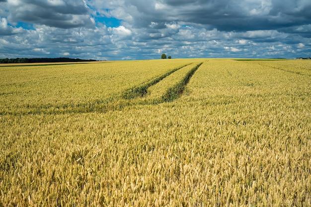 Campo de grano de cebada bajo el cielo lleno de nubes