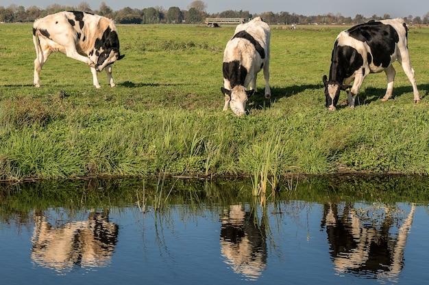 Campo de hierba cerca del agua con vacas comiendo hierba durante el día