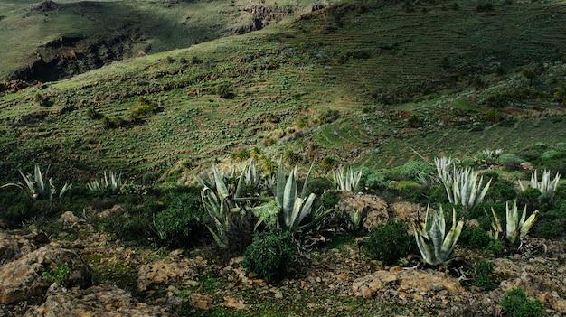 Campo de hierba con plantas de agave en una colina